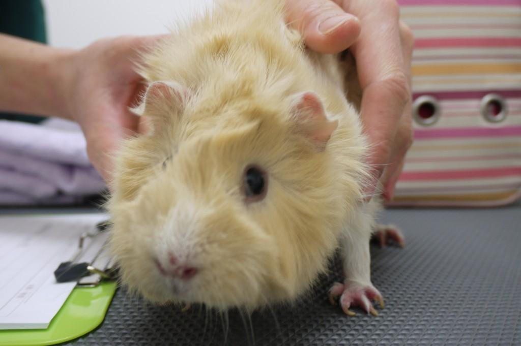 guinea pig HANA