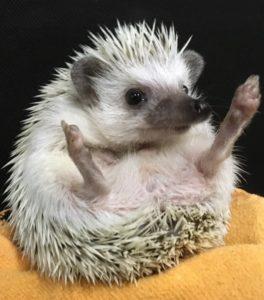 hedgehog at pokkurah