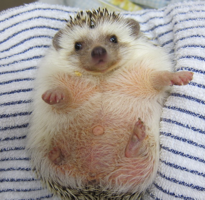 hedgehog obesity