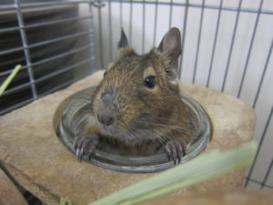 degu Ted cute