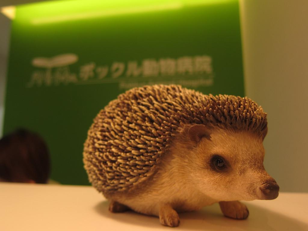 hedgehog at pokkur animal hospital