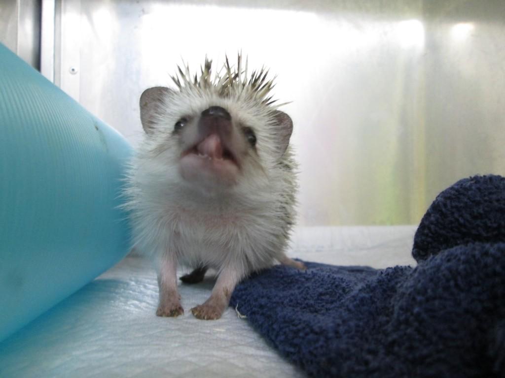 hedgehog pet hotel