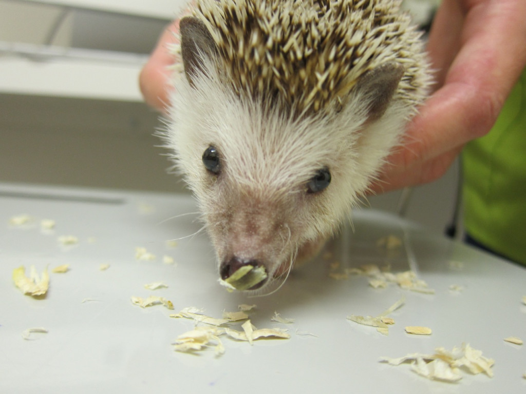 michel hedgehog
