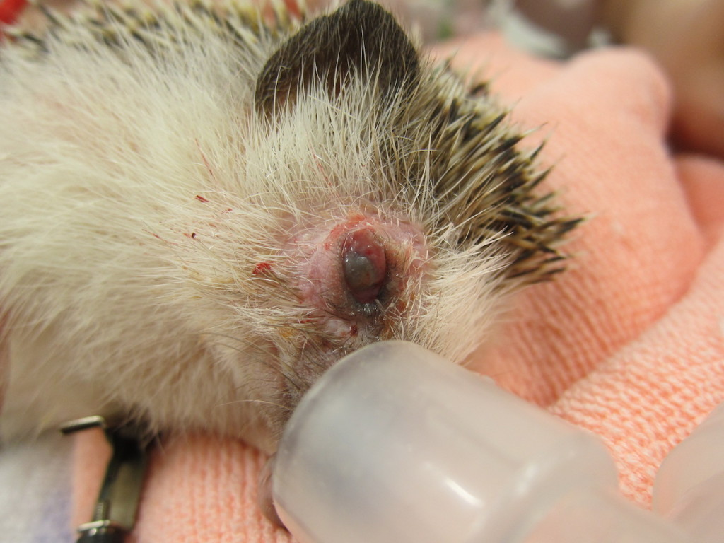 hedgehog eye prolapse recover