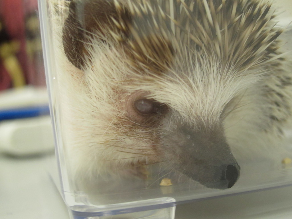 hedgehog eye