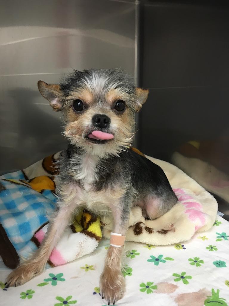 Dog azuki surgery