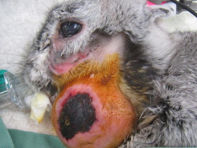 ウサギの、歯が原因で起こる膿瘍 | ポックル動物病院|札幌市手稲区|犬 ...