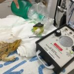 bearded dragon anesthesia recover2